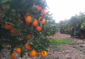 20kg Naranja Navelina Mesa