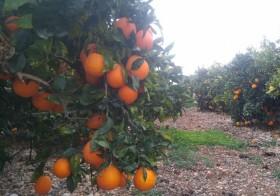 30kg Naranja Navelina Mesa