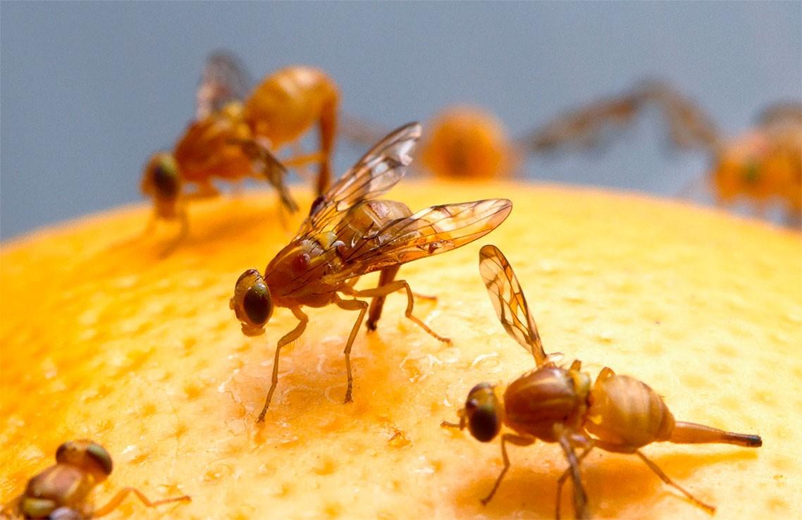 Fuera dolores de cabeza con la mosca de la fruta